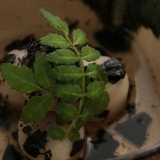 里芋の煮付け トリュフ添え(割烹 COPAN (コパン))