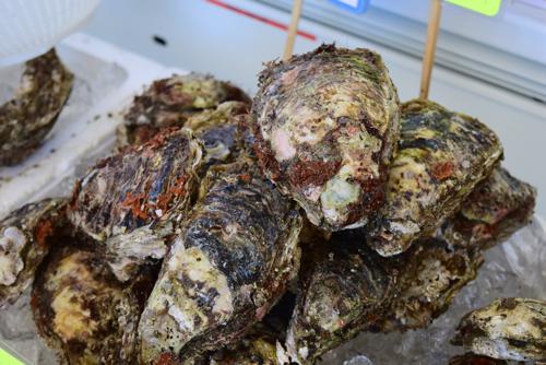 鳥海山の恩恵を受ける岩牡蠣