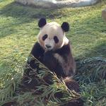 panda_yukino